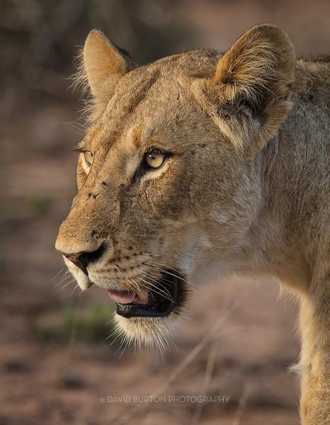 Lion_3092cc2fx-web.jpg