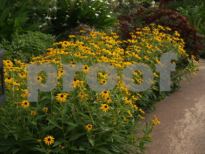 rudbeckias-bring-colorful-cheer-in-summer