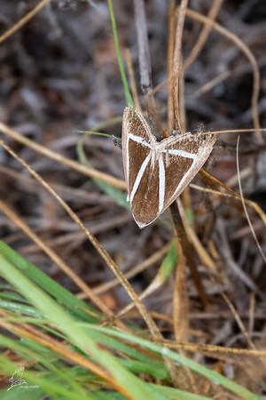 Moth, Chalciope delta