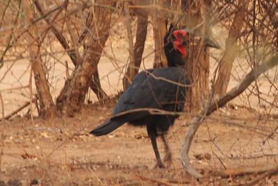 Southern Ground Hornbill