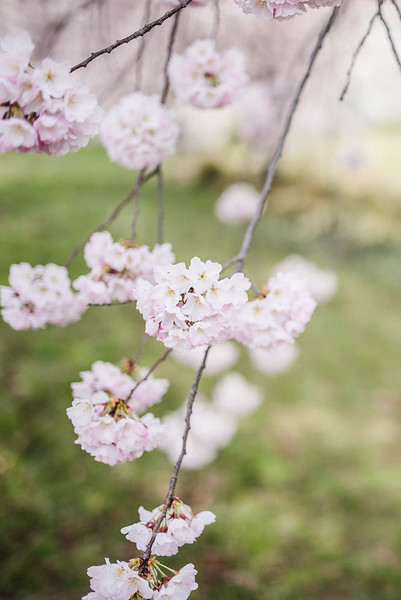 Cherry Blossoms (174 of 182).jpg