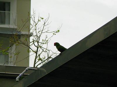 Wild Parrots, Embarcadero Center, San Francisco, April 2008
