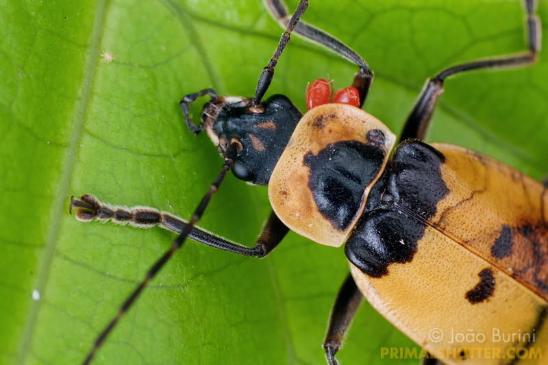 Details of a yellow soldier beetle