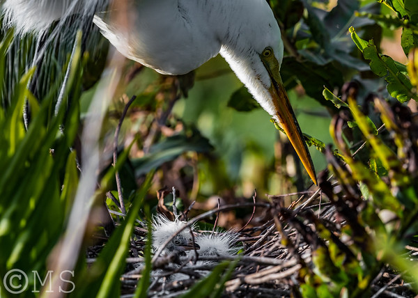 Great Egret Image Gallery
