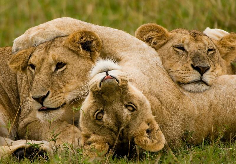 Lion Cubs-7.jpg