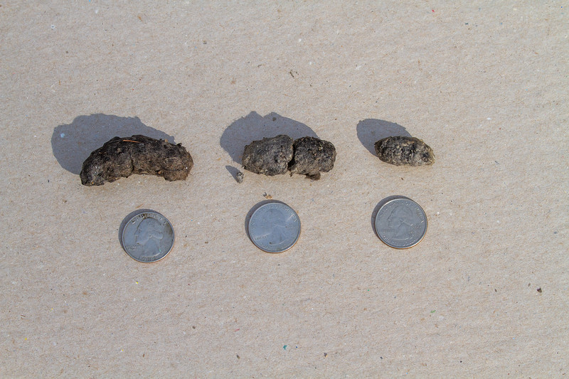 Boreal Owl pellets coughed up at Admiral Road feeders Jan-Feb 2020 Sax-Zim Bog MN IMG_0376.jpg