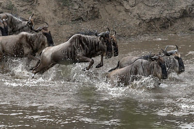 Mara River crossing 07 2016