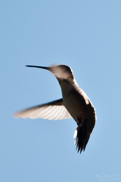 Hummingbirds/Collibri