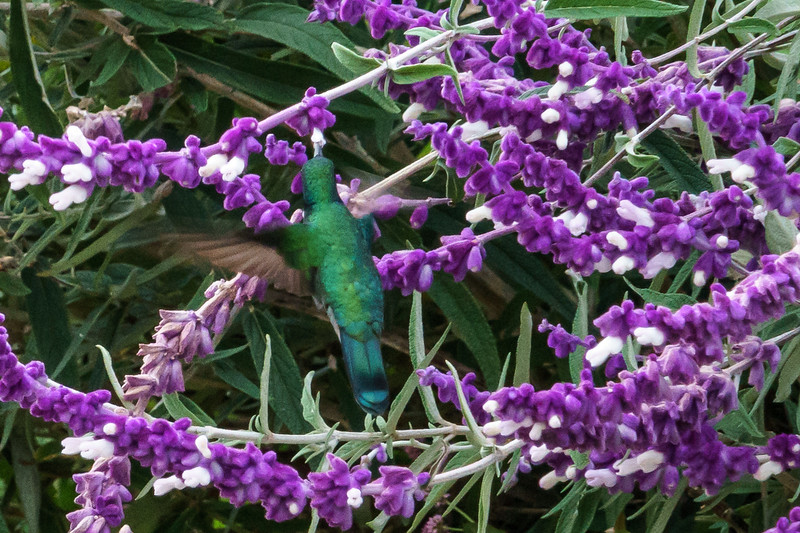 Green violetear hummingbird getting a drink from nature