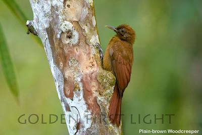Plain-brown Woodcreeper, Asa Wright, Trinidad & Tobago