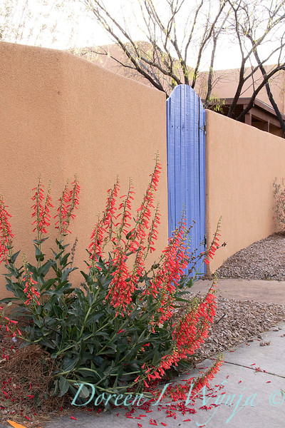 Penstemon eatonii Firecracker stucco periwinkle courtyard gate _5700.jpg