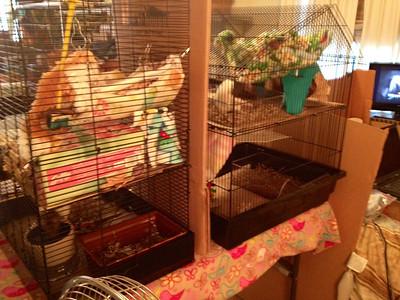 Flight Cage Fun (No, Rats Don't Fly)