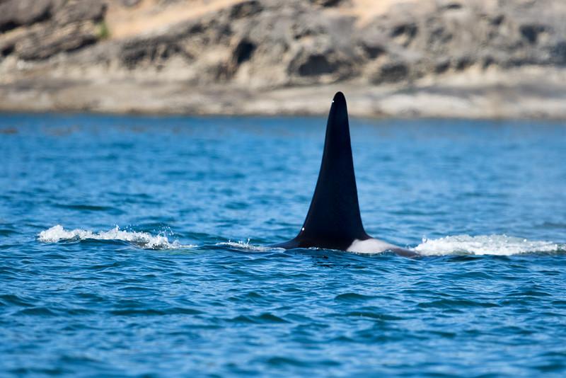 Orcas -  073115-128.jpg