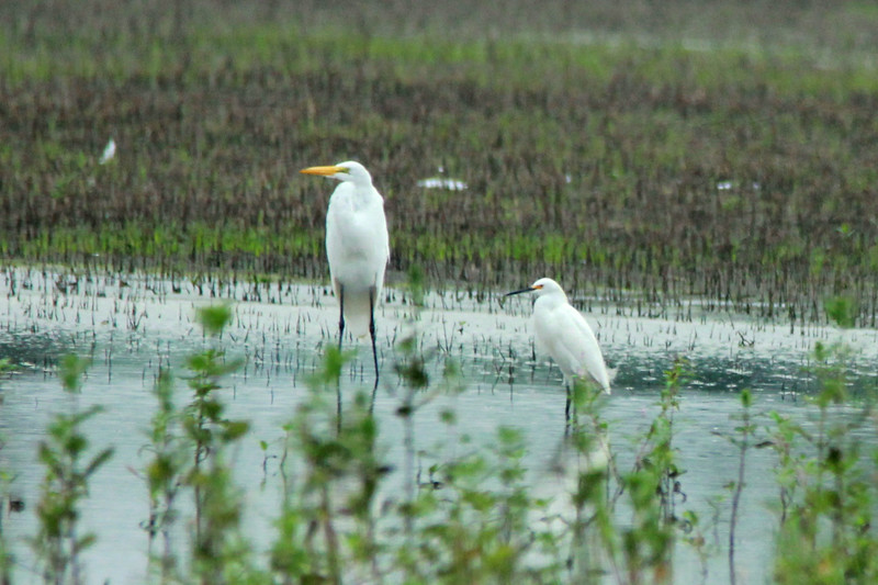Great Egret & Snowy Egret @ Firma & Dalbow Roads in O'Fallon