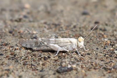 Un-identified grasshoppers