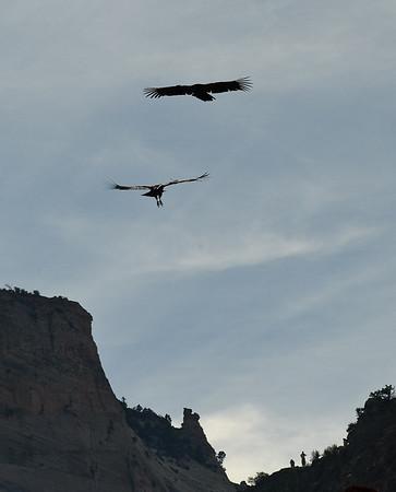 Zion Nov 2008 California Condor