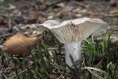 15.07.2014 - Lactarius flexuosus var. flexuosus