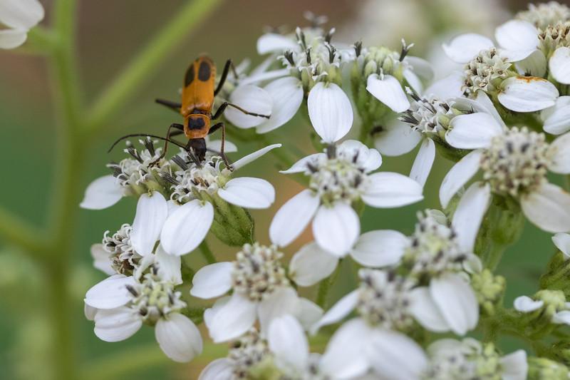 20190831-HobbsStatePark-VanWinkleTrail-WildflowersWithBug-2.jpg