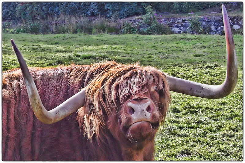 Scottish Coo, Scotland