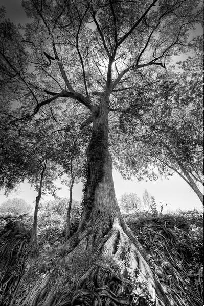 San Marcos River Tree.jpg