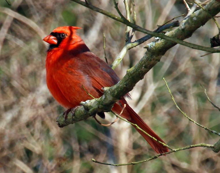 cardinal 3 p.jpg