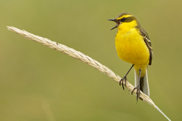 Wagtails, Pipits and Larks
