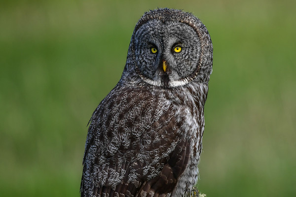 6-11-17 Great Gray Owl - Looking For Breakfast