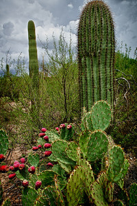 Monsoon and Prickly Pears