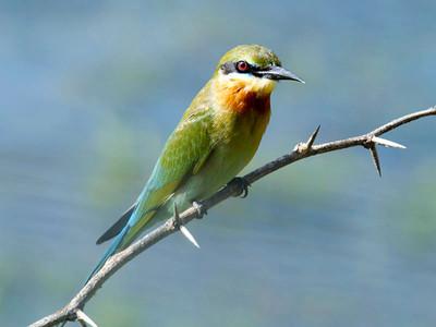 Hummingbirds, Swifts, Bee-eaters
