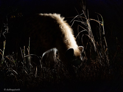 Hyena waiting for scraps below the tree