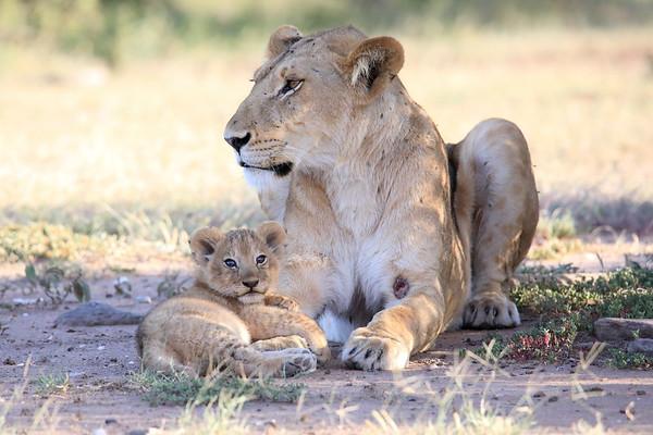 Lion Cub and Mom Mara Kenya 2018
