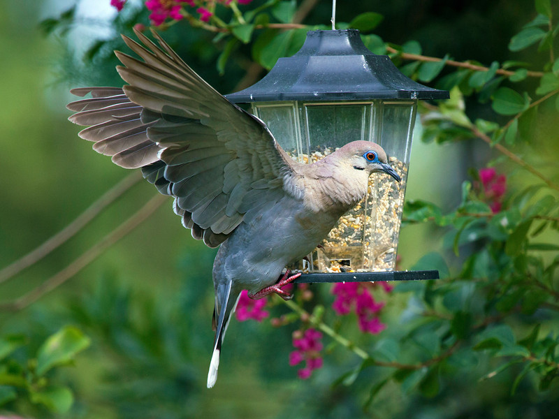 Another dove keeping its balance as it eats from the bird feeder.