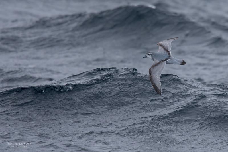 Antarctic Prion, Eaglehawk Neck Pelagic, TAS, Aus, Sept 2016.jpg