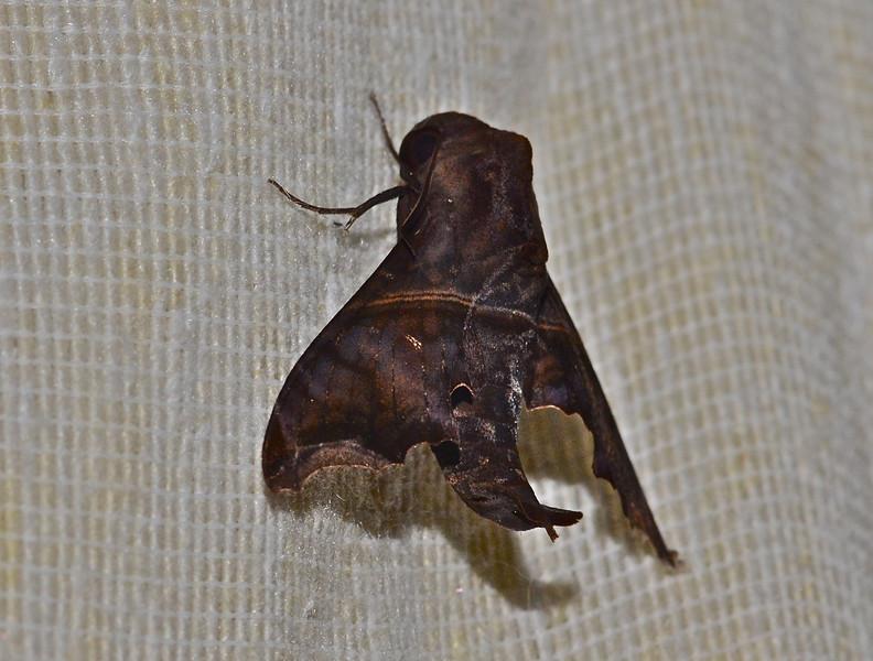 Moth (exact species unknown)