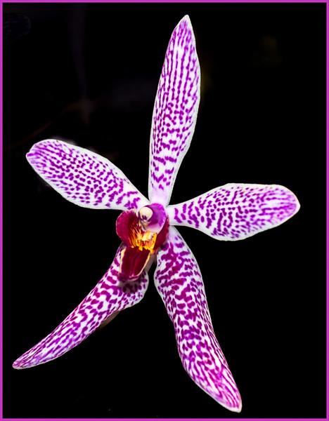 PG_Purple-Star-Orchid_Gamble.jpg