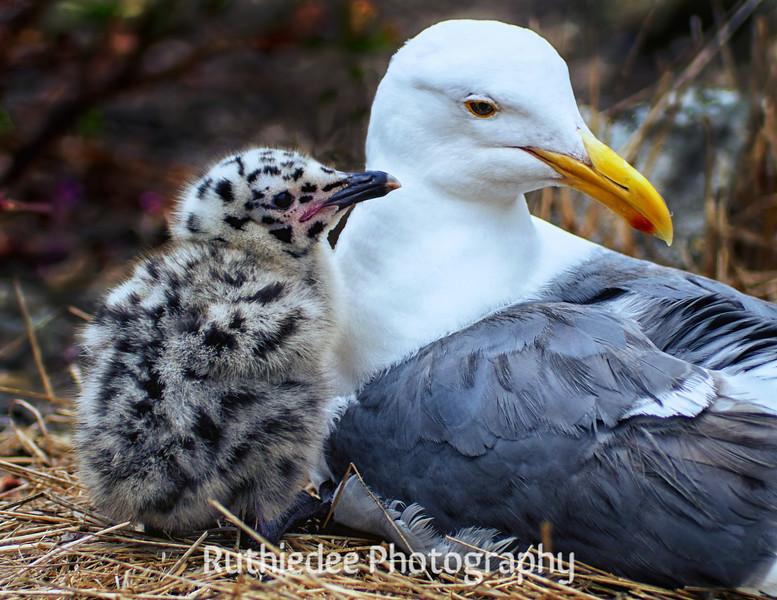 Chick and mama gull...