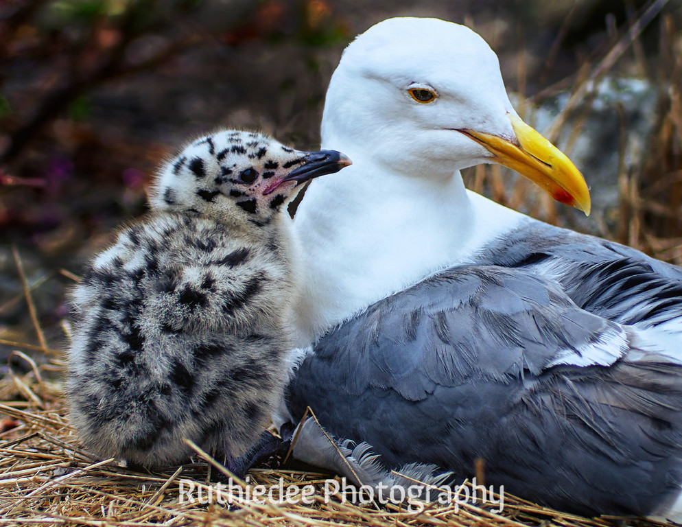 Chick and mama gull...