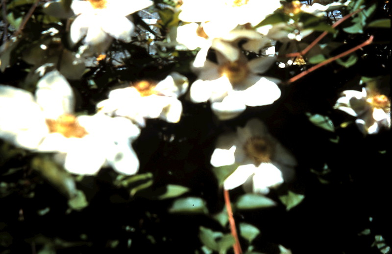 1960-10 (14) Clematis @ Prices.JPG