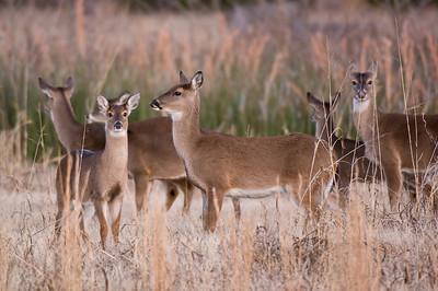 Two Rivers Park Deer
