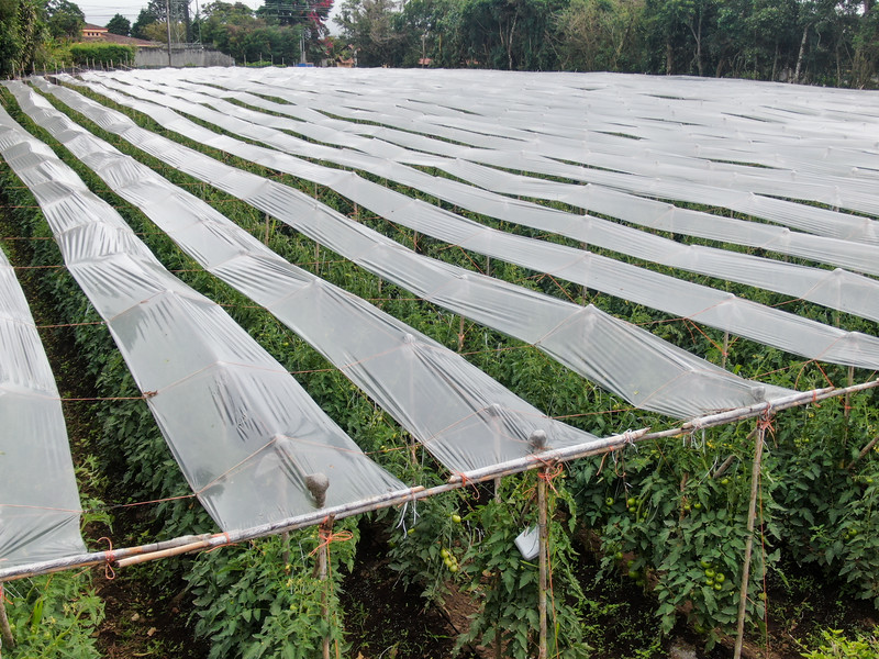 Greenhouse plantation with tomatoes growing in Costa Rica