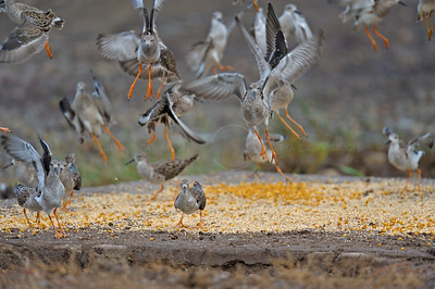 Ruff (Philomachus pugnax) feeding in a feeder in Gujarat
