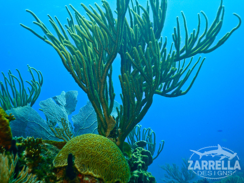 """Brain Coral and Sea Whip"" (Proselyte Wreck, St. Maarten)"