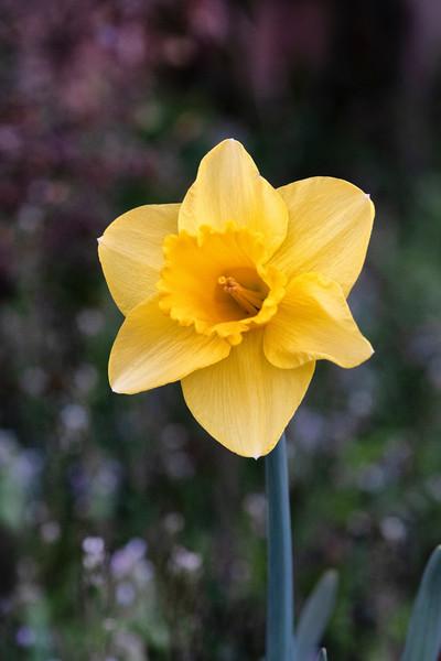 Daffodils032819-180.jpg