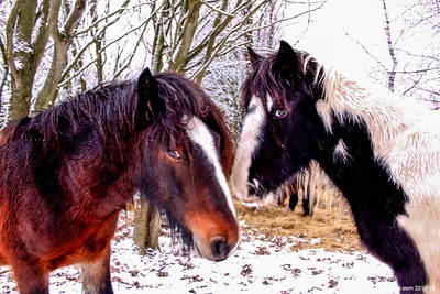 Greeting Cards - Horses