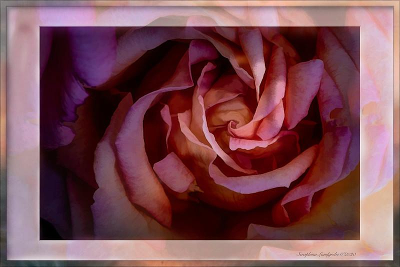 _DSC4841 Oil Paint Topaz Rose FRAMED B.jpg