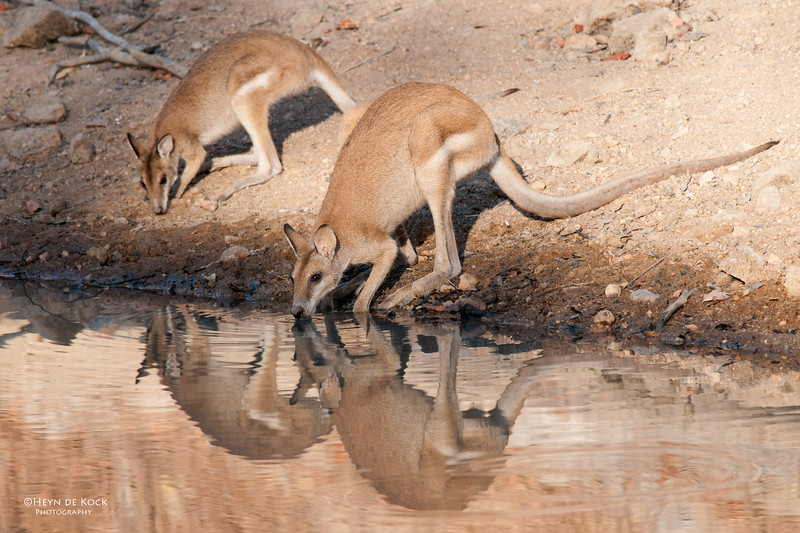 Agile Wallaby, Musgrave, QLD, Dec 2009-2.jpg