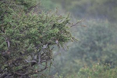 Cuckoo, Diederik