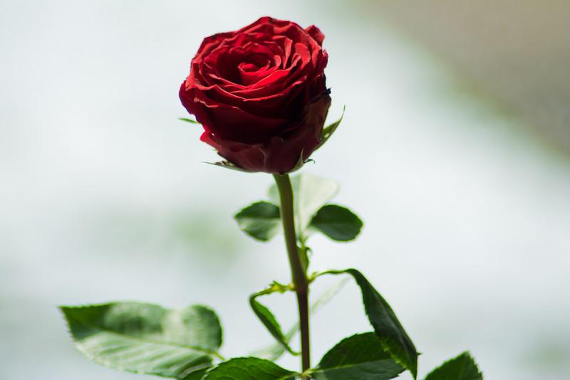 Rose-12.jpg