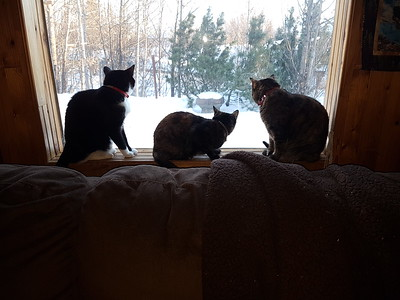 2017-02-01 Taz-Khloe-Britches in window cats