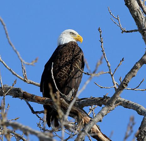 American Bald Eagles, Keokuk, Iowa 2010